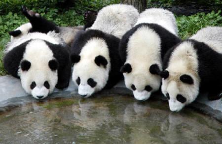 パンダの恋の、理想と現実。